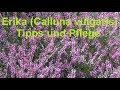 Erika Calluna vulgaris einpflanzen und pflegen Heide Tipps für Pflege Standort Dünger