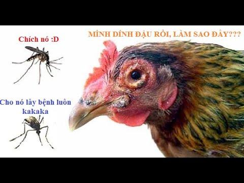 Bệnh đậu trên gà nhận biết và phòng trị