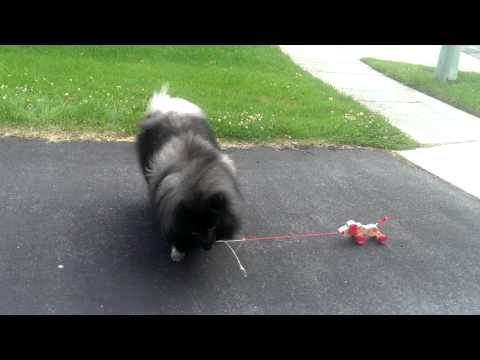 Clancy the Keeshond walks toy dog - Cute Fluffy Dog Tricks