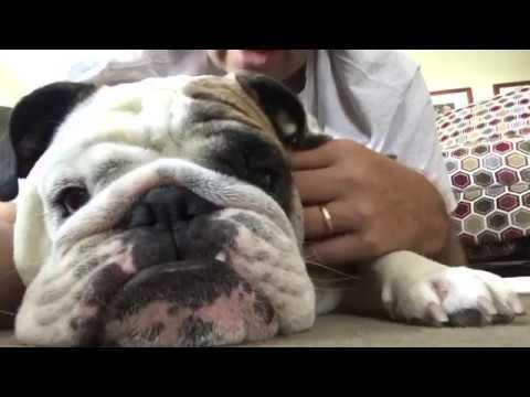 reuben-the-bulldog-who-s-the-boss
