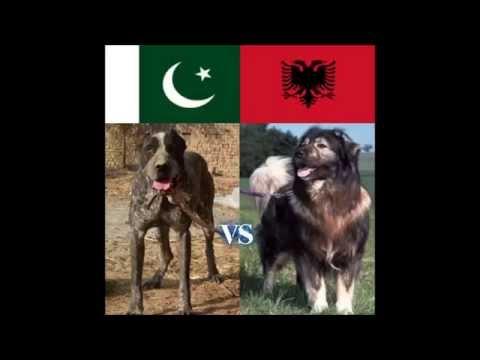 Bully Kutta Pakistani Vs Qeni I Sharrit Albanians Dog Fight
