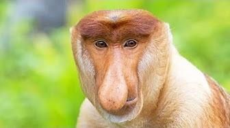 Le nasique, ce singe moche - ZAPPING SAUVAGE