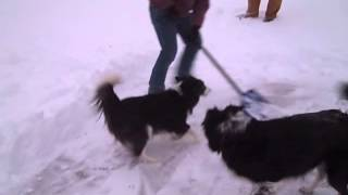 Border collies in the snow - Jan 5 2014
