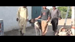 DERA Sabir Hussain Lumbrdar Gujjar Pind 217GB Samundri, Faisalabad mpeg4 thumbnail