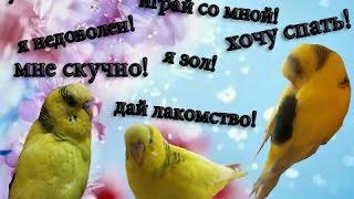 Как понять попугая! Язык пения волнистого попугая! Часть 1 #Смешное видео #Птицы #Мои советы