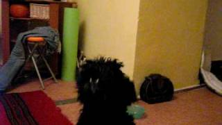 Schnauzer Miniature Singing ! Very Happy Dog!