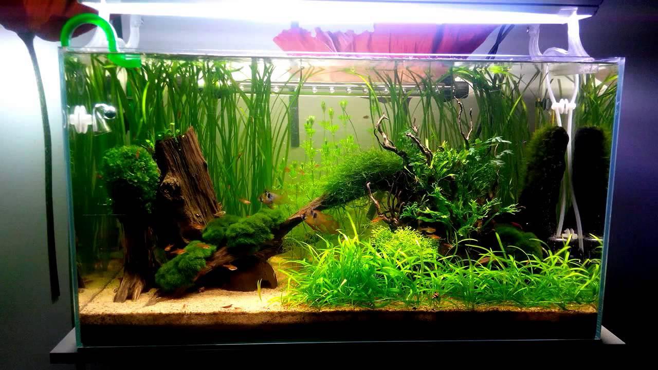 décor aquarium ramirezi