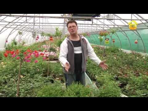 видео: Сорта и выбор роз  // forumhouse