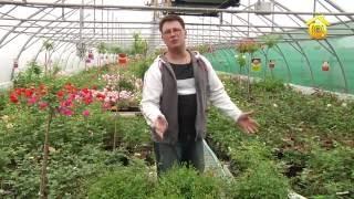 Уход за растениями: Сорта и выбор роз  // FORUMHOUSE(Из данного видео вы узнаете: как выбрать розы для своего участка, что нужно учитывать при покупке и посадке,..., 2012-06-29T03:48:04.000Z)