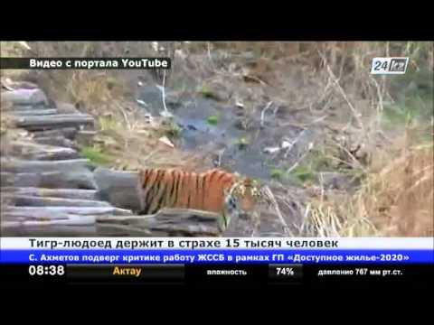 Тигры людоеды « Большие Кошки | 360x480