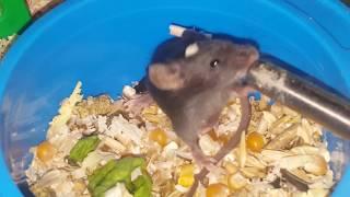 Новые питомцы! Декоративные мышки