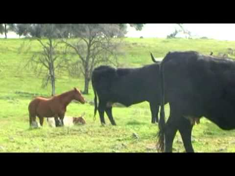 Horse and Calf.mpg