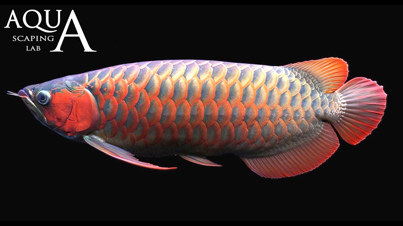 Aquascaping lab arowana silver and dragon fish for Dragon fish for sale