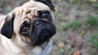 Мопс -это ржака!!! Funny pug