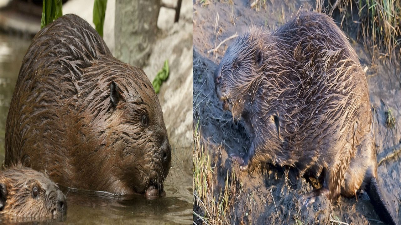 north american beaver u0026 eurasian beaver the differences youtube