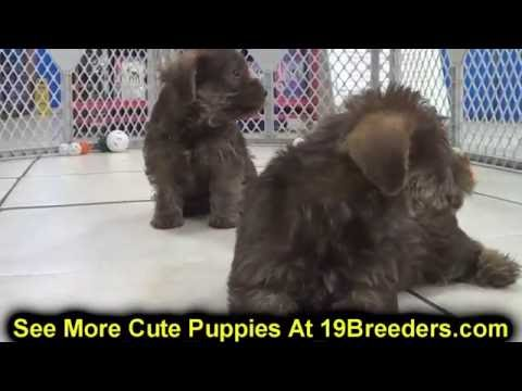 Snorkie Puppies For Sale In Ky