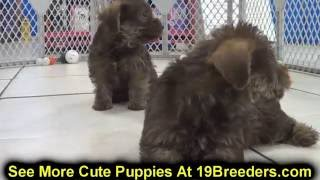 Schnorkie, Puppies, For, Sale, In, Louisville,county, Kentucky, Ky,  Richmond, Florence, Georgetown,