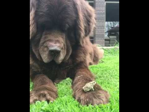 Newfoundland Dog and frog