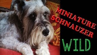 Miniature Schnauzer - Nature Documentary
