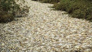 Strange phenomenon a lot of Fish swim ashore thumbnail