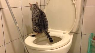 4 months old Bengal cat completed the toilet training