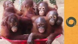 Take The Wheelbarrow, Let's Go To Orangutan School!