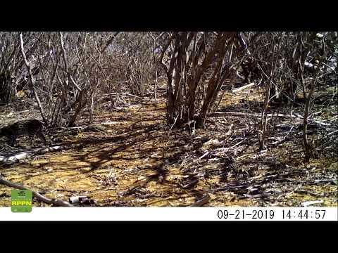 Jaguatirica ( Leopardus pardalis) - Floresta Legal - Ourolândia - BA