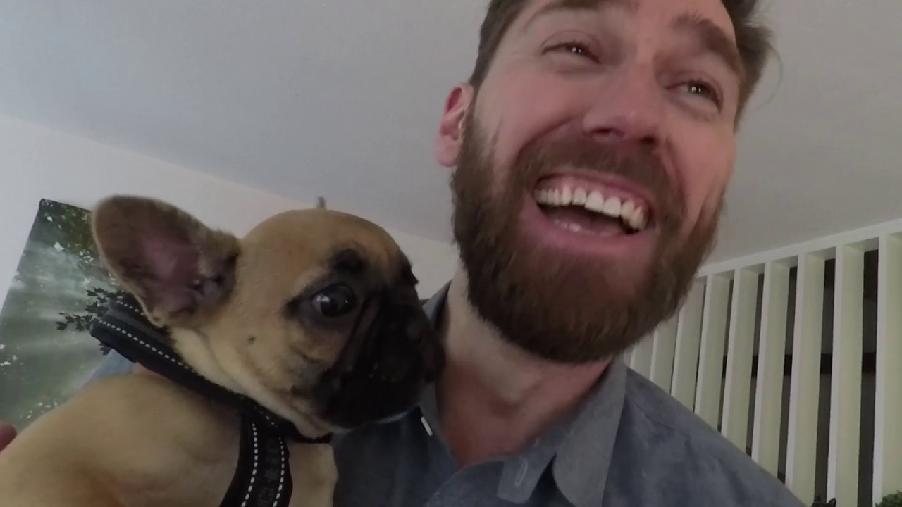 frenchie puppy pick up funnydog tv. Black Bedroom Furniture Sets. Home Design Ideas