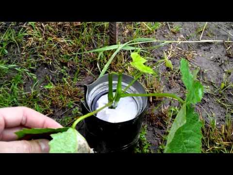 Размножение винограда зелеными черенками. ЗЕЛЕНЫЕ ЧЕРЕНКИ ВИНОГРАДА