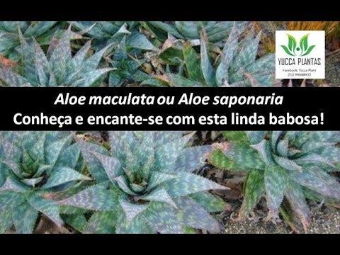 ALOE SAPONARIA-  ALOE MACULATA- uso caseiro como sabão e xampu