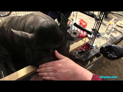 Pot-Bellied Pig Rescue | Daily Planet's Insane Jobs
