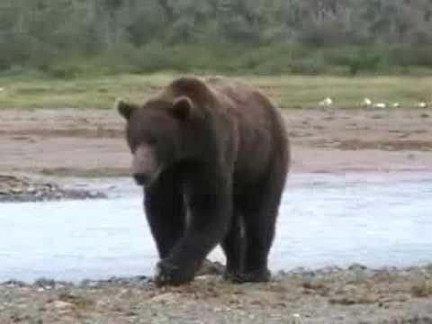 Katmai Bear - Kukak Bay