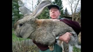 Бизнес план по разведения кроликов(Как бизнес разведение кроликов очень рентабельно и выгодно с точки зрения окупаемости в сельском хозяйств..., 2016-12-14T18:32:27.000Z)