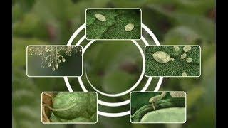 See how Potato Late Blight develops