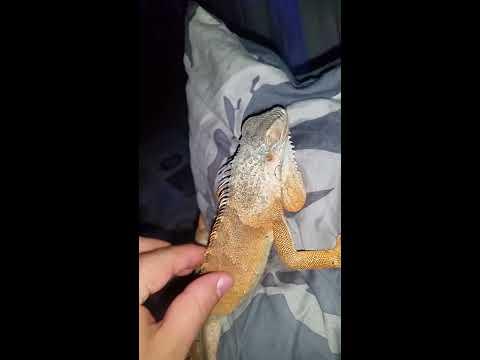 My detective Iguana 'Rio'
