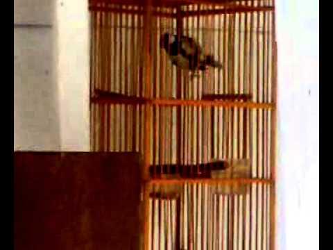 Burung Gelatik Batu Gacor