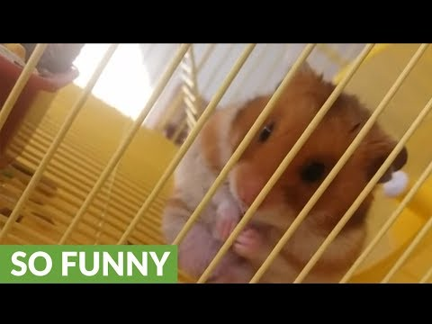 Hygienic hamster adorably washes his face