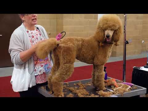 Standard Poodle Body Trim with Lisa Leady