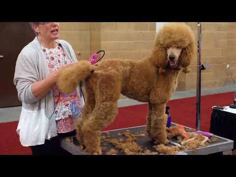Standard Poodle Body Trim With Lisa Leady