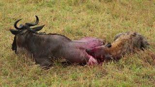 Гиены Против Зебры #Дикая Природа