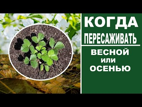 Как выращивать клубнику.  Когда лучше пересаживать клубнику ВЕСНОЙ или ОСЕНЬЮ