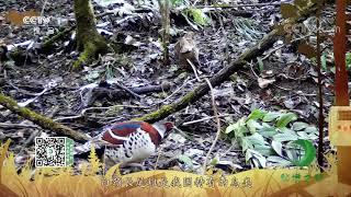 《秘境之眼》 白颈长尾雉 20201118| CCTV - YouTube