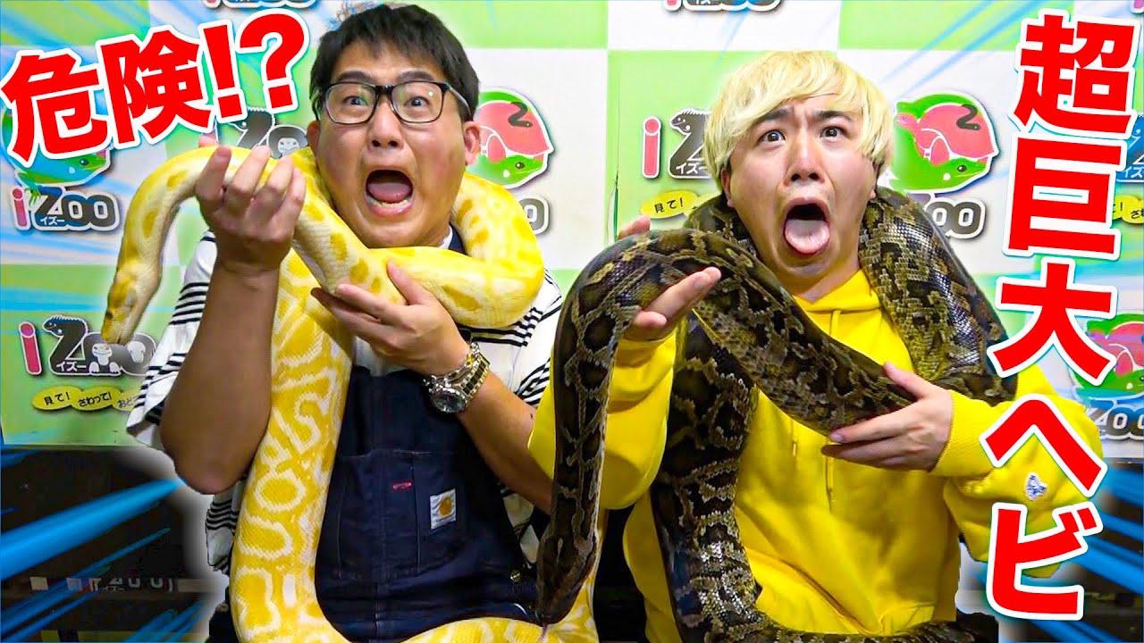 【寝坊の罰】遅刻ばかりするので巨大なヘビを首に巻いてもらいます。