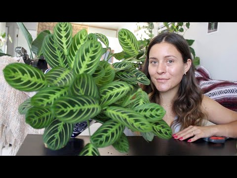 How To Make A Prayer Plant Houseplant More Full! | Maranta Plant Propagation!