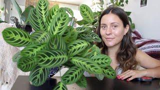 How To Make a Prąyer Plant Houseplant More Full! | Maranta Plant Propagation!