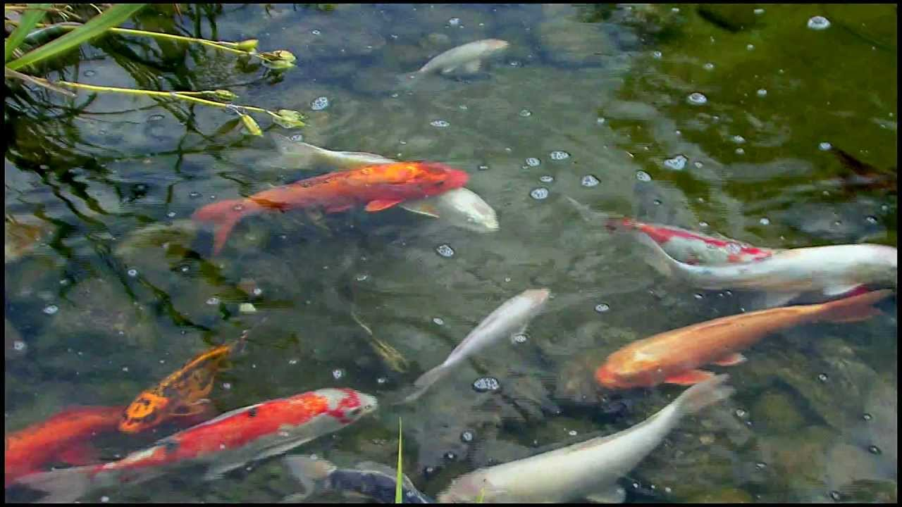 Goldfische im teich youtube for Goldfischarten teich
