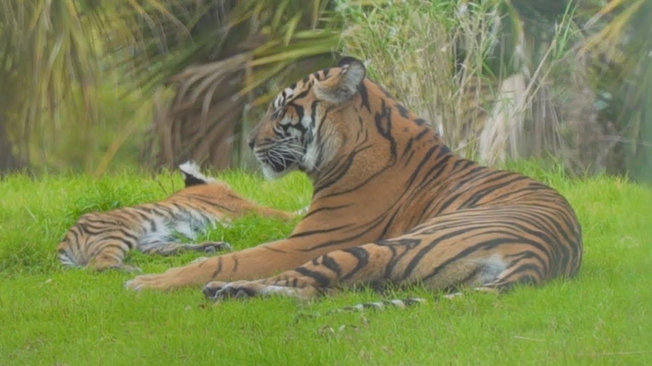 Maharajah Jungle Trek Tigers at Disney's Animal Kingdom