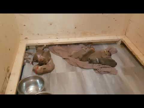 DIY Whelping Box + Puppies
