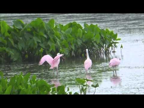 Gulf-Spoonbills-Return-to-the-Wild