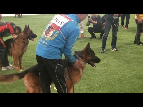 German Shepherd World dog show in Shanghai 2019